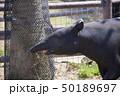 アドベンチャーワールド 動物 マレーバクの写真 50189697