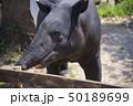 アドベンチャーワールド 動物 マレーバクの写真 50189699