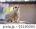和歌山県南紀白浜のアドベンチャーワールドのミーアキャット 50190360