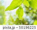 新緑の葉 50196225