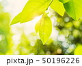 新緑の葉 50196226