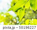 新緑の葉 50196227