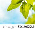 新緑の葉 50196228