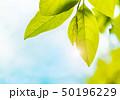新緑の葉 50196229