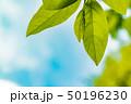 新緑の葉 50196230
