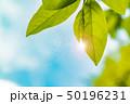 新緑の葉 50196231
