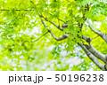 新緑の葉 50196238