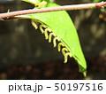 ハナカイドウに着く害虫:カイドウハバチの幼虫:並んで葉を食べる習性 50197516
