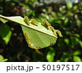 ハナカイドウに着く害虫:カイドウハバチの幼虫 50197517