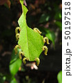 ハナカイドウに着く害虫:カイドウハバチの幼虫 50197518
