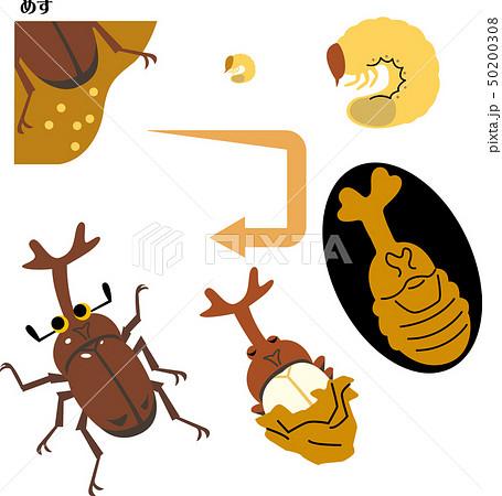 カブト虫の成長サイクル 50200308