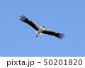コウノトリ 50201820