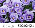 パンジー 花 植物の写真 50202421