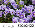 パンジー 花 植物の写真 50202422