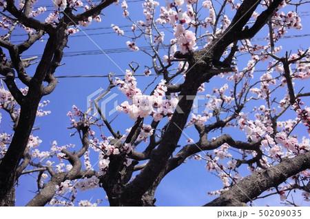 美しく咲くピンク色の桜、満開、春の日本、群馬県 50209035
