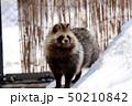 エゾタヌキ 旭川市旭山動物園 50210842
