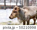 トナカイ 旭川市旭山動物園 50210998