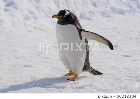 ジェンツーペンギンの散歩 旭川市旭山動物園 50213304