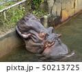 東山動物園・カバ 50213725
