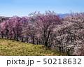 信州 長野県松本市弘法山の桜と北アルプス 50218632