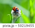 てんとう虫 天道虫 ナナホシテントウの写真 50219455