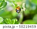 てんとう虫 天道虫 ナナホシテントウの写真 50219459