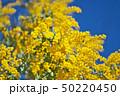 花 アカシア ギンヨウアカシアの写真 50220450