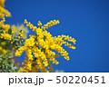 花 アカシア ギンヨウアカシアの写真 50220451