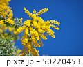 花 アカシア ギンヨウアカシアの写真 50220453