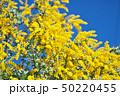 花 アカシア ギンヨウアカシアの写真 50220455