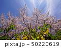 桜とレンギョウ 50220619