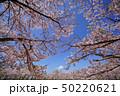 見上げる桜 50220621