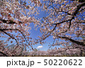 桜に囲まれる 50220622