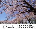 桜並木 50220624
