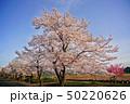 東播工業高校の桜 50220626