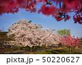 東播工業高校の桜 50220627
