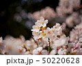 桜の花びら 50220628