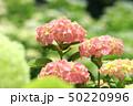 紫陽花 ピンク 花の写真 50220996