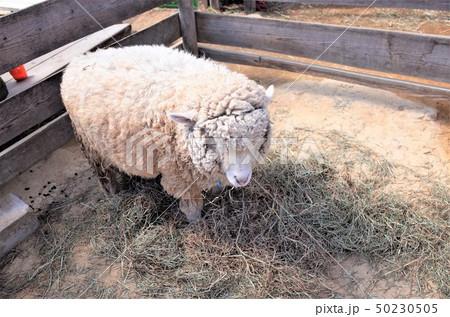 動物園の羊。群馬サファリパーク 50230505