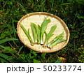 山菜食材、ウルイ(オオバギボウシの若芽) 50233774