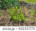 山菜食材、ウルイ(オオバギボウシの若芽) 50233775