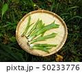 山菜食材、ウルイ(オオバギボウシの若芽) 50233776