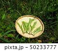 山菜食材、ウルイ(オオバギボウシの若芽) 50233777