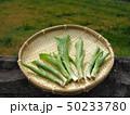 山菜食材、ウルイ(オオバギボウシの若芽) 50233780