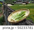 山菜食材、ウルイ(オオバギボウシの若芽) 50233781