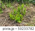 山菜食材、ウルイ(オオバギボウシの若芽) 50233782