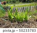 山菜食材、ウルイ(オオバギボウシの若芽) 50233783