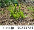 山菜食材、ウルイ(オオバギボウシの若芽) 50233784