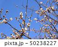 花 蕾 つぼみの写真 50238227