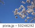 桜 春 花の写真 50246292